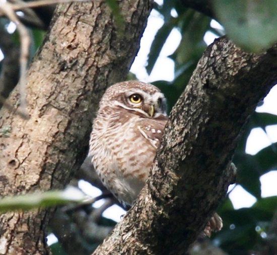 Amazing owlet