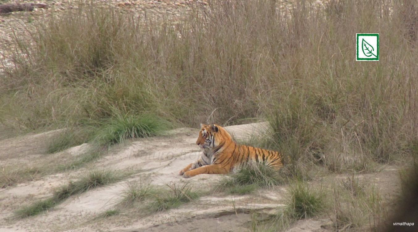Bardia Tiger_VT