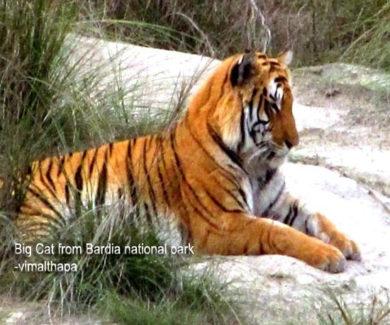 Tiger of Nepal