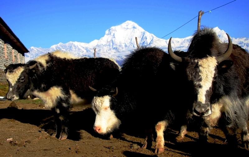 Annapurna Dhaulagiri Ecotrail