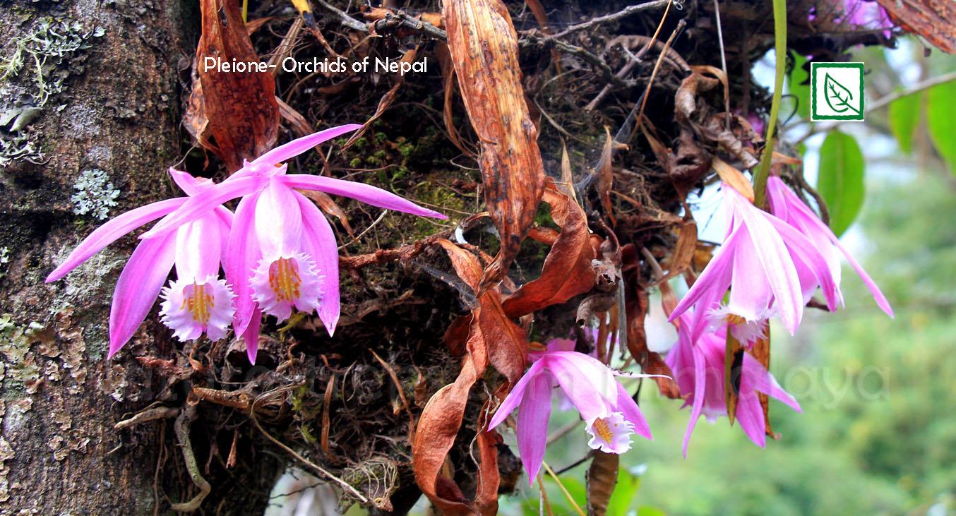 Orchid_vt
