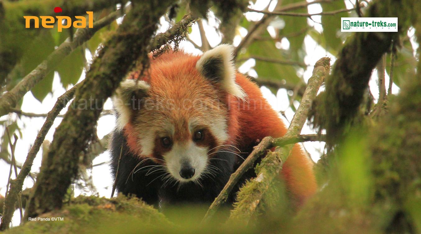 Red Panda Tour