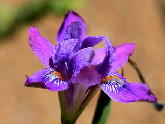 Phoksundo and Iris flower
