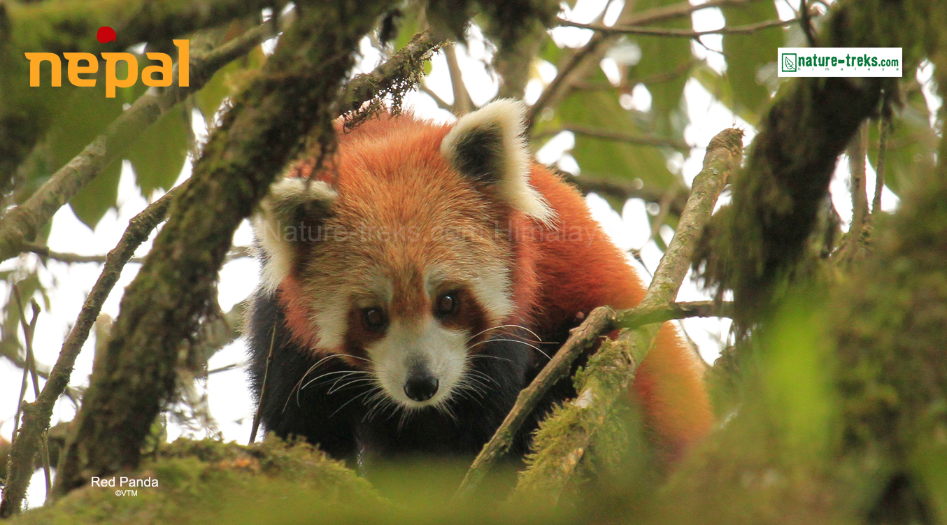 Red Panda of Nepal