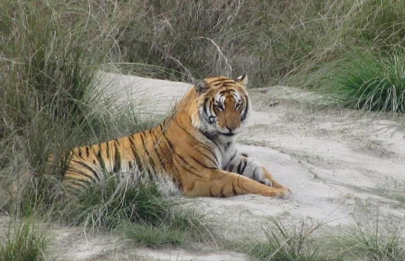 Bardia Tiger